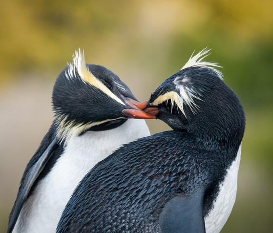 Fiordland crested penguin kiss