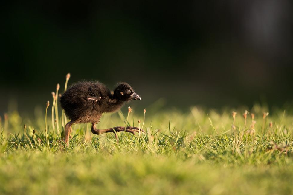 Pukeko chick