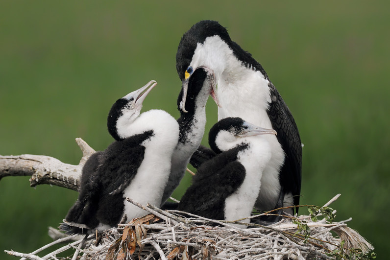 Pied Shag feeds young
