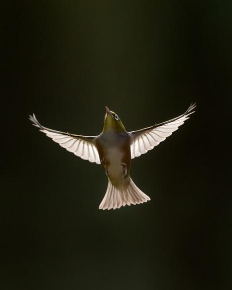 Silvereye Flight