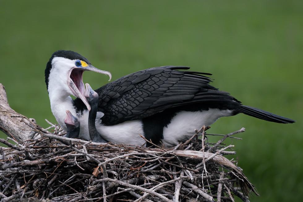 Pied Shag feeds chick