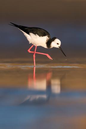 Pied Stilt reflection