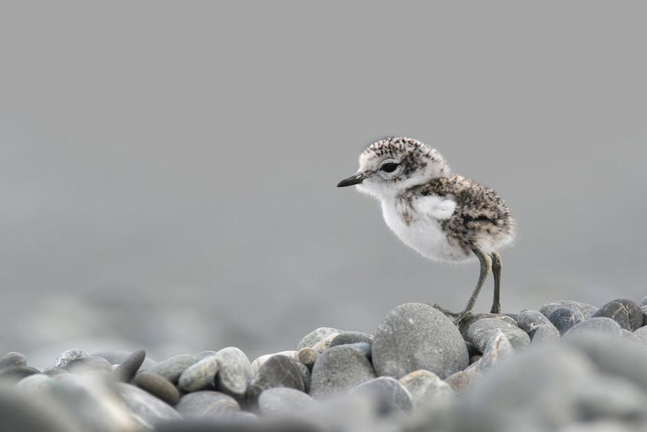 Banded Dotterel Chick