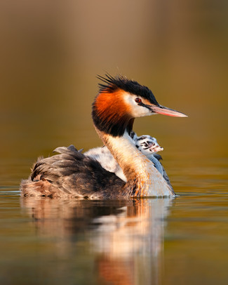 New Zealand Crested Grebe chicks ride on back.
