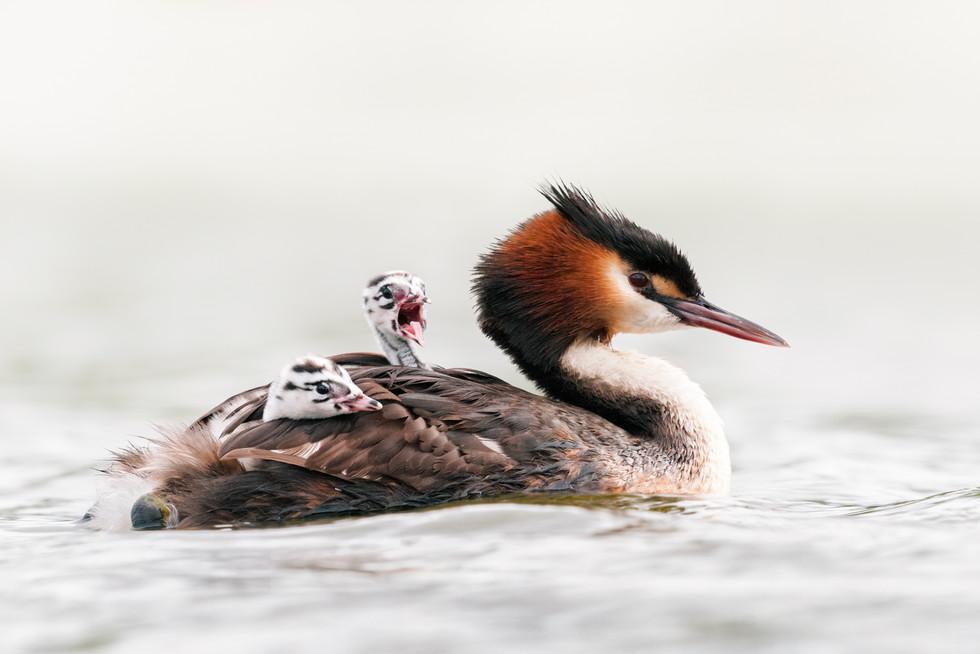 Grebe chicks on mums back