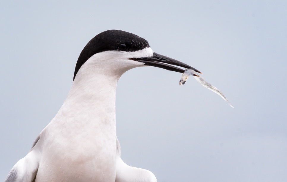 White Fronted Tern with Whitebait
