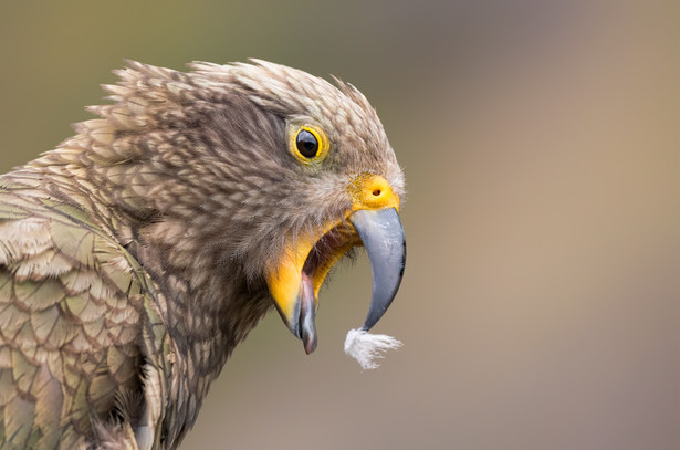 Kea with feather