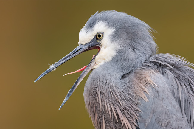 white-faced-heron-yawn-portrait-1200.jpg