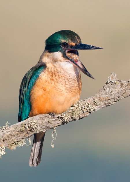 Kingfisher Pellet