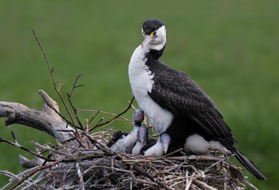 Pied Shag Nest