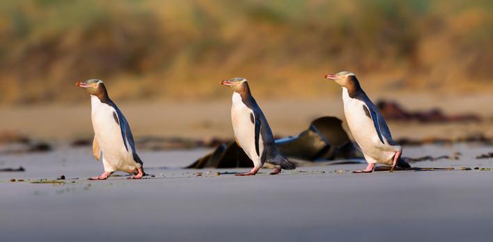 Three yellow eyed penguins