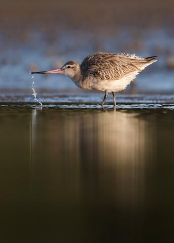 Bar-tailed godwit drinking