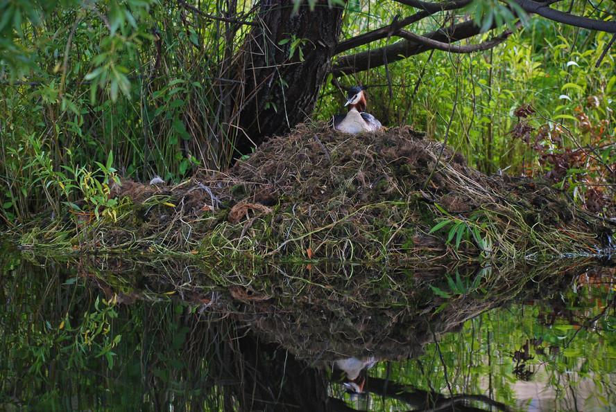 Crested Grebe nest