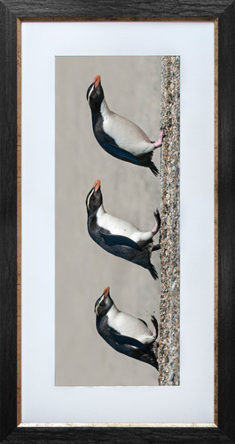 Fiordland crested penguins print