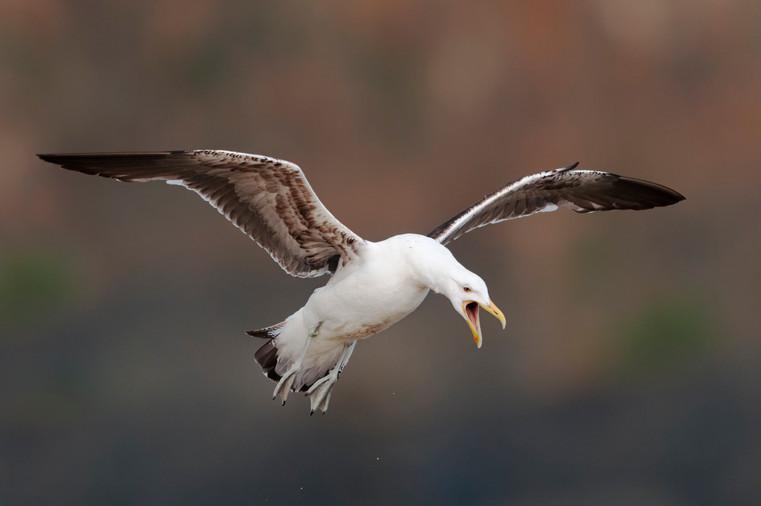 Black backed gull