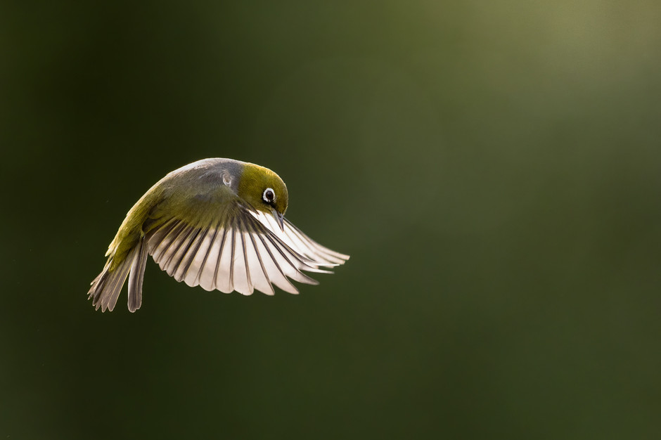 Silvereye in Flight