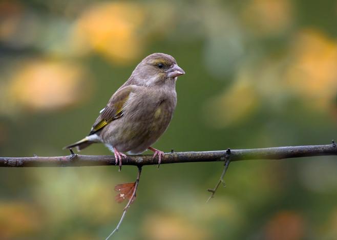 Grenfinch female