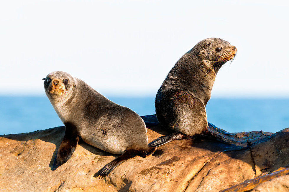 New Zealand Fur Seal pups