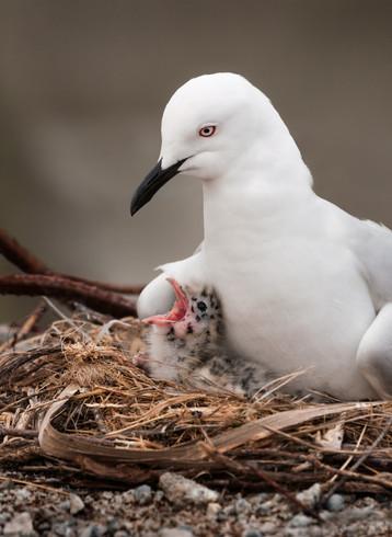 Black-billed gull nest