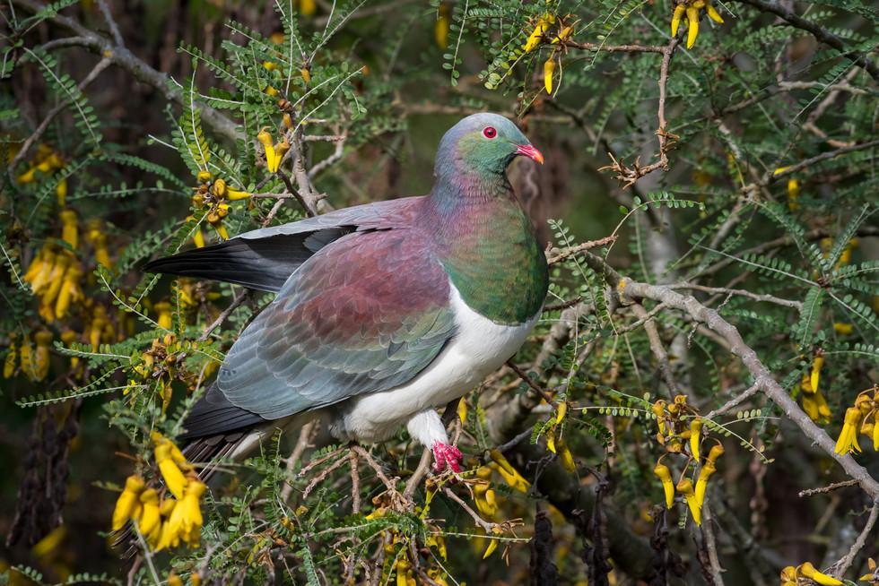 Wood-Pigeon-and-kowhai1200.jpg