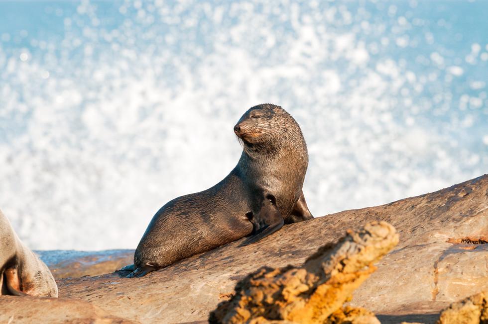 New Zealand Fur Seal
