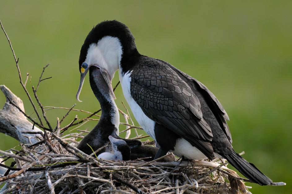 Pied Shag feeds chicks