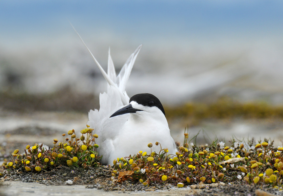 White-fronted tern nest