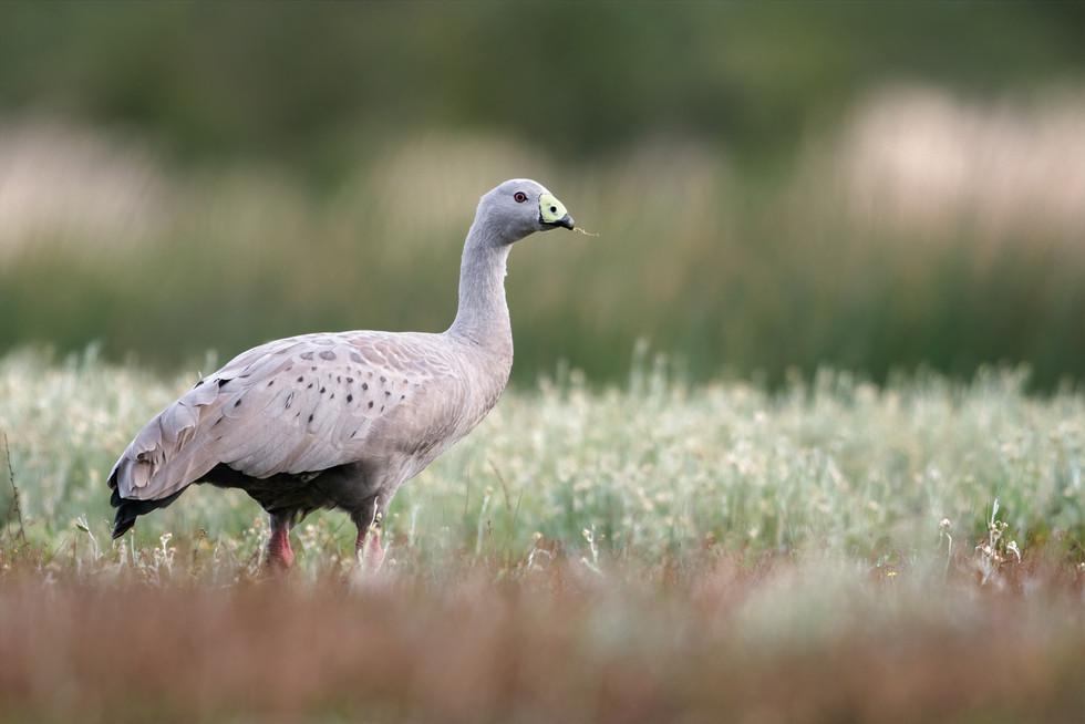 Cape-Barren-Goose-feeding---1200.jpg