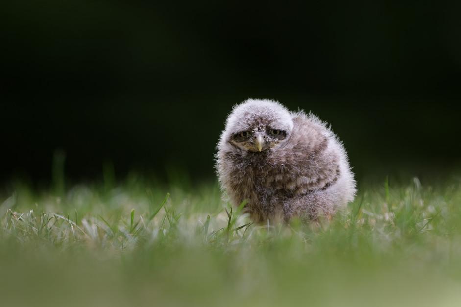 Little German Owlet