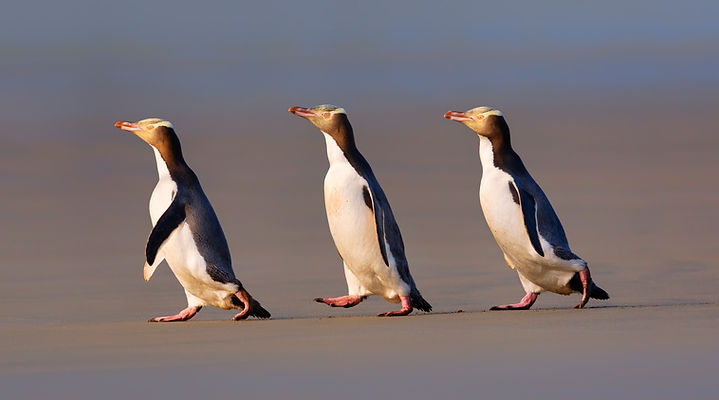 Three-Yelloweyed-penguins-2-lo-res.jpg