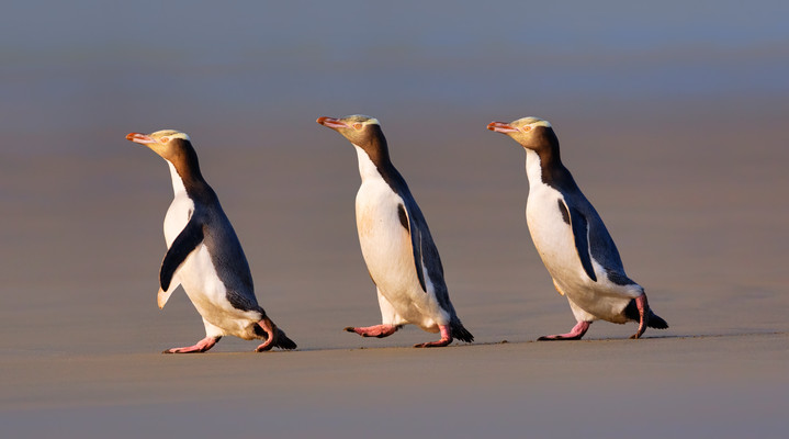 Three-Yelloweyed-penguins-2-lo-res.jpg
