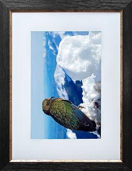 Kea fine art print