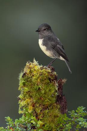NZ-Robin-Portrait-mossy-perch-NEWEST-ONE-1400.jpg