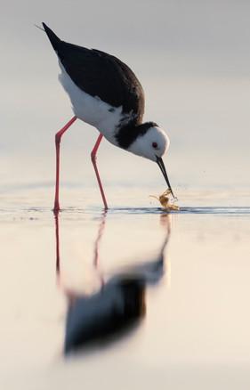 Pied stilt feeding