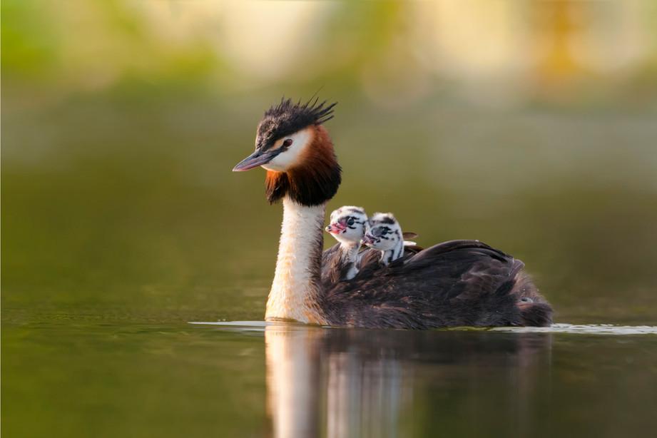 Crested grebe chicks