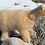 Thumbnail: Maggie the Mountain Lion