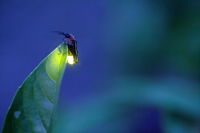 FIREFLY WATCHING AT NIGHT - ADULT