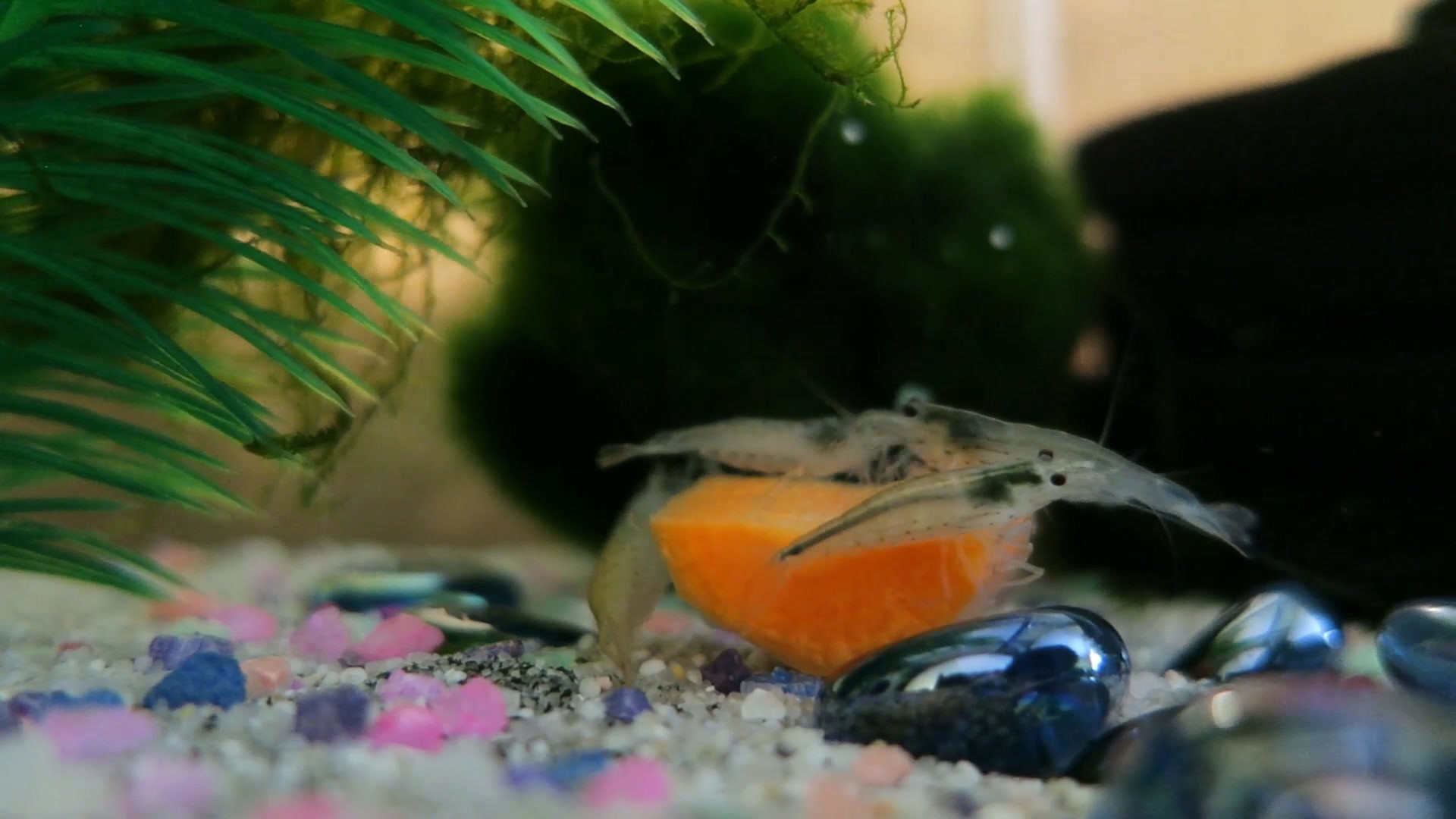 Amanos Getting Carrot for the First Time