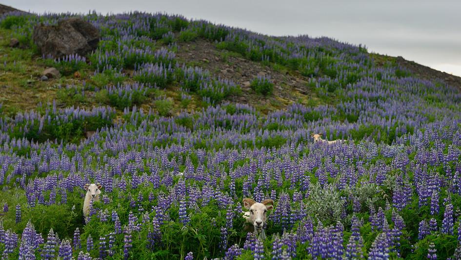 Sheeps - Svinafellsjökull