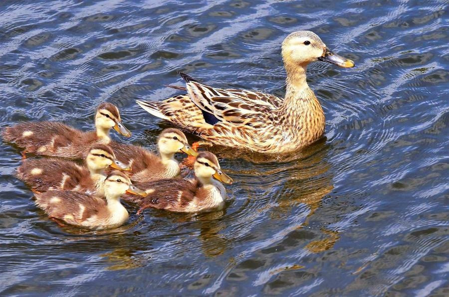 Momma & Baby Ducks 2019 - JPickett_edite