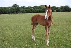 élevage chevaux