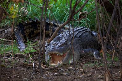 Saltwater Crocodile, Kakadu NP - NT