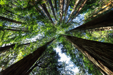 Redwoods, Avenue of the Giants, California - USA