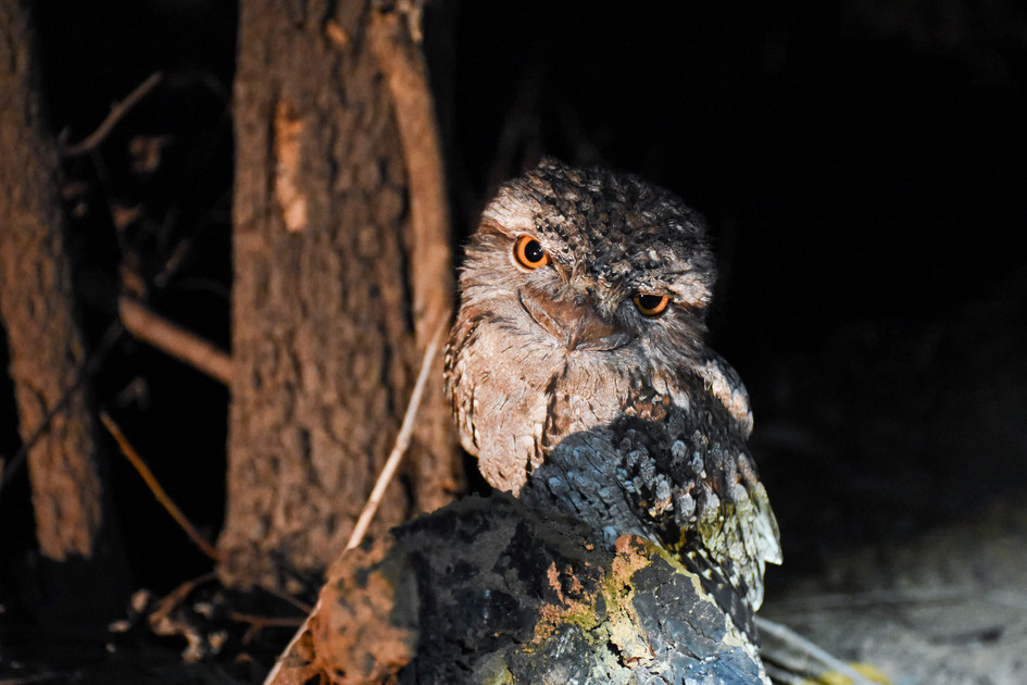 Tawny Frogmouth, Weipa - QLD
