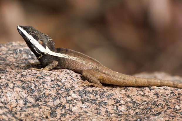 Gilbert's Dragon, Fogg Dam - NT