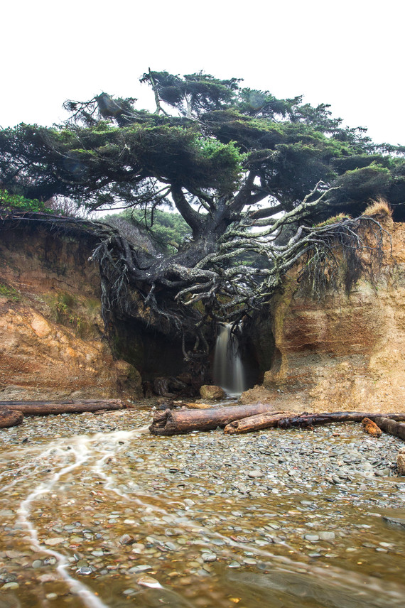Tree of Life, Forks, Highway 101