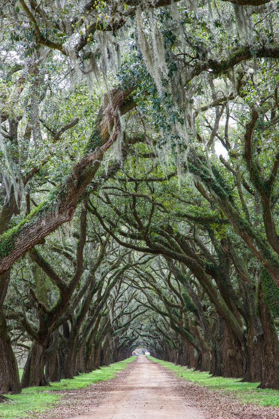 Tree Alley - Wallace, Louisiana - USA