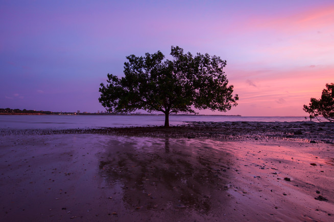 Mangrove Tree at East Point, Darwin - NT