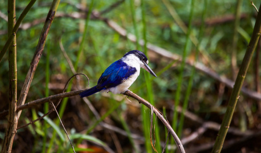 Forest Kingfisher at Fogg Dam - NT