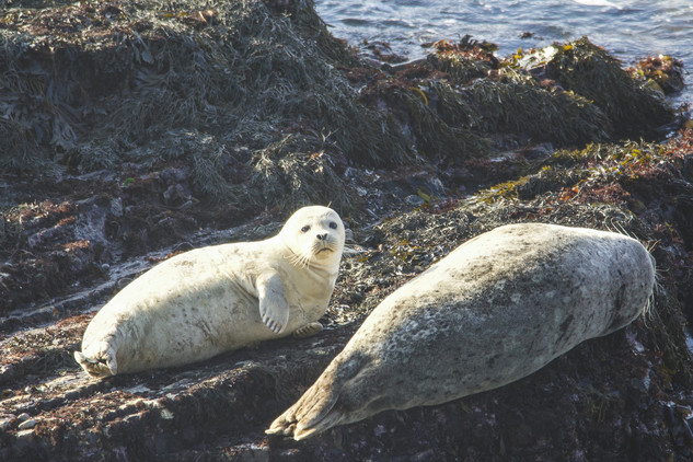 Seals at Point Arena